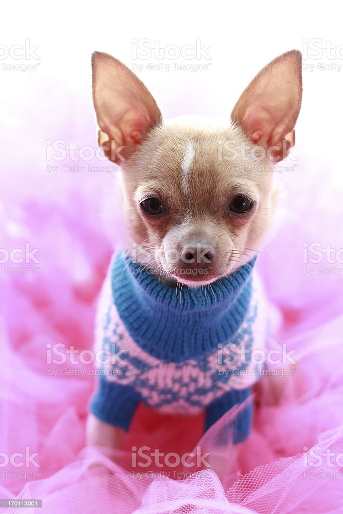 chihuahua in pink royalty-free stock photo