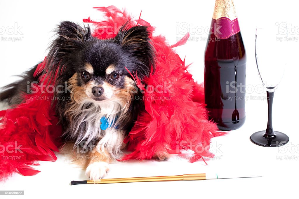 Chihuahua in red boa stock photo
