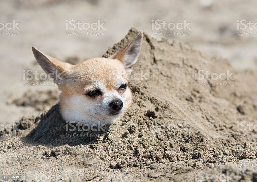 chihuahua in sand stock photo