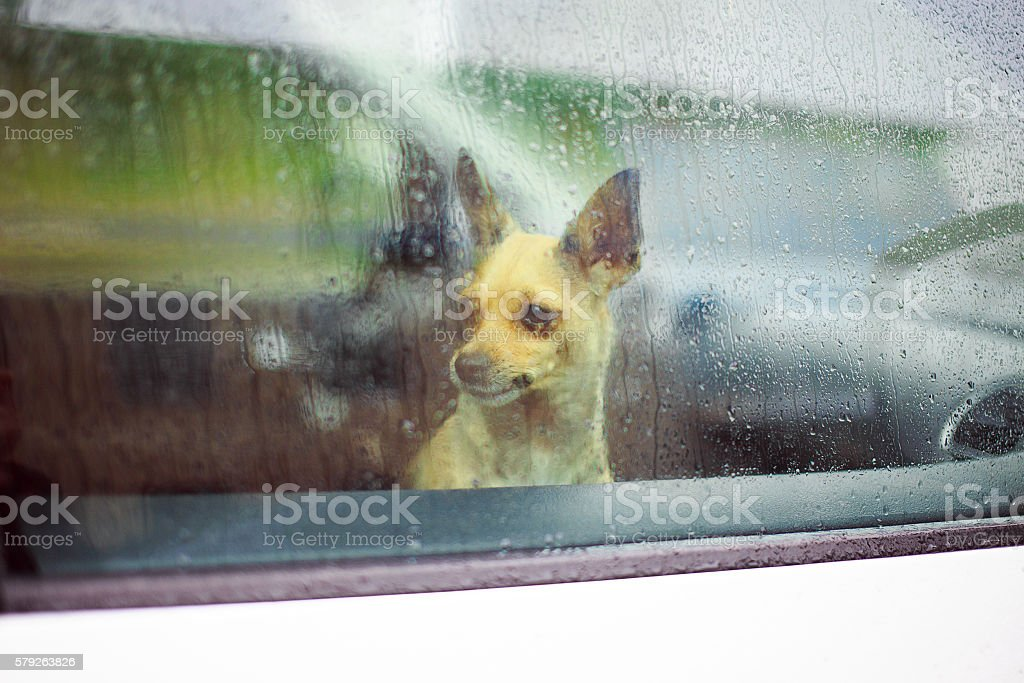 chihuahua in the car stock photo