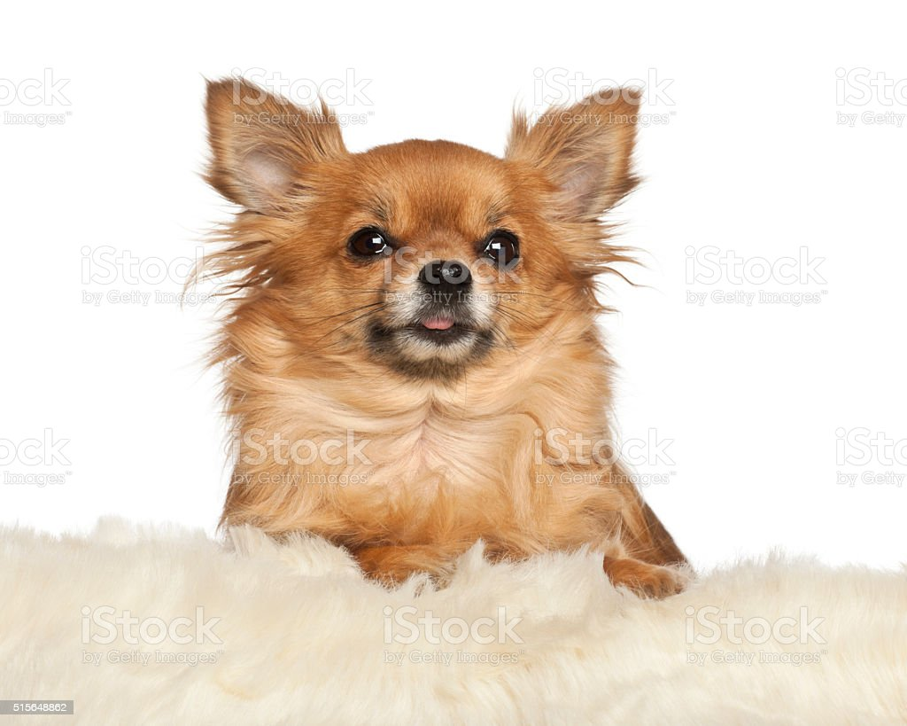 Chihuahua leaning on fur cushion against white background stock photo