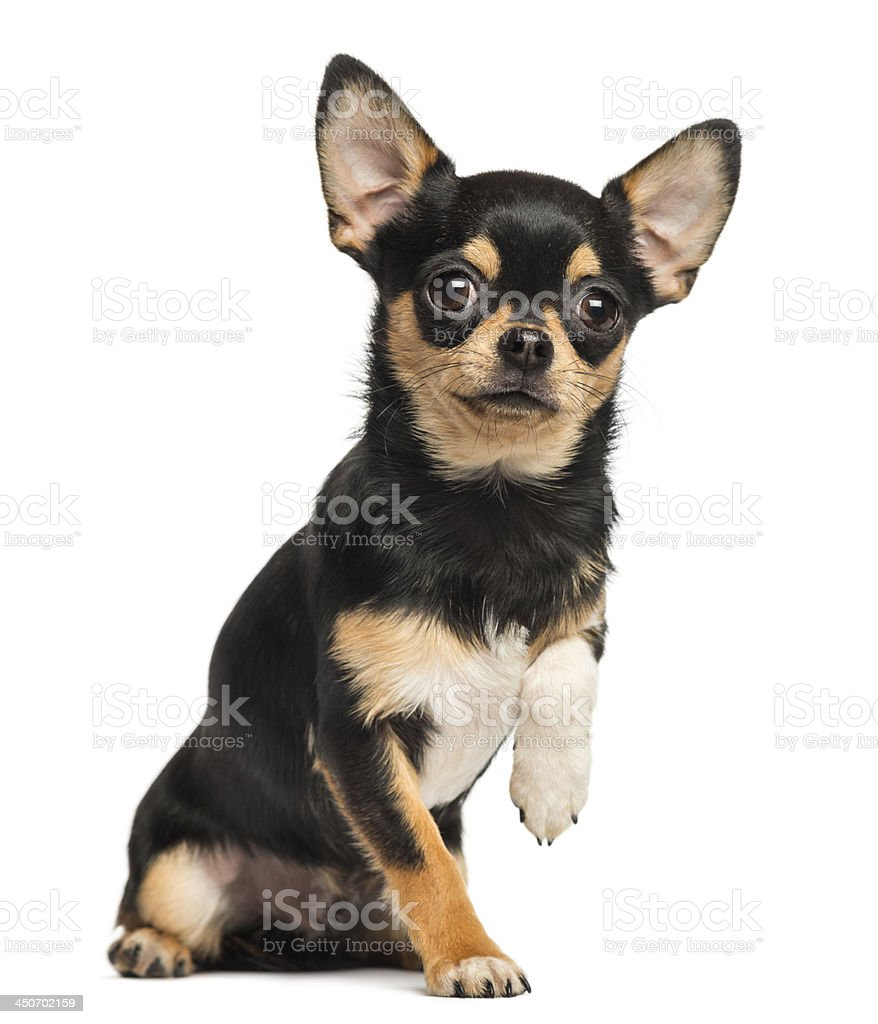 Chihuahua lefting a paw, looking at the camera royalty-free stock photo