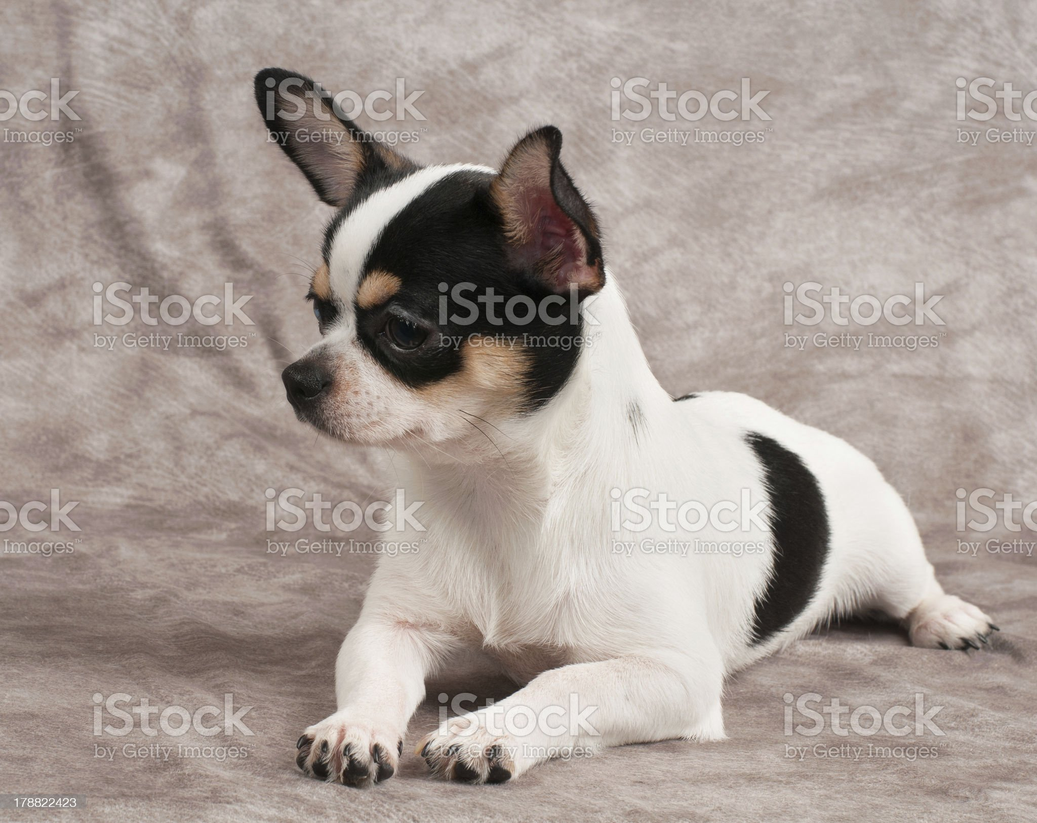 Chihuahua lies on textile background royalty-free stock photo