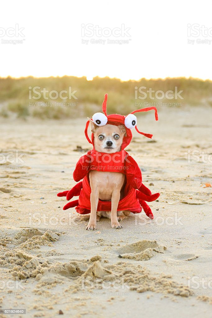 Chihuahua Lobster At The Beach stock photo