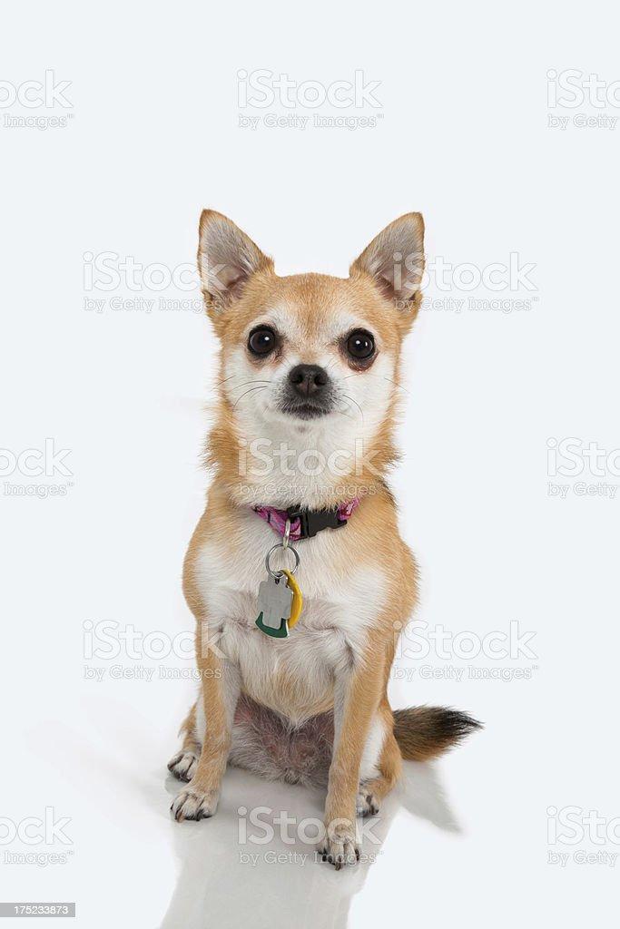 chihuahua   looking at camera with collar and dog tags. stock photo