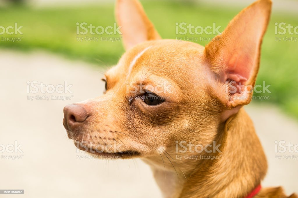 Chihuahua looking curious stock photo