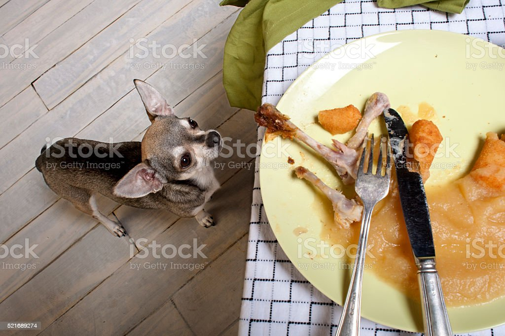 Chihuahua looking up at leftover meal on dinner table stock photo