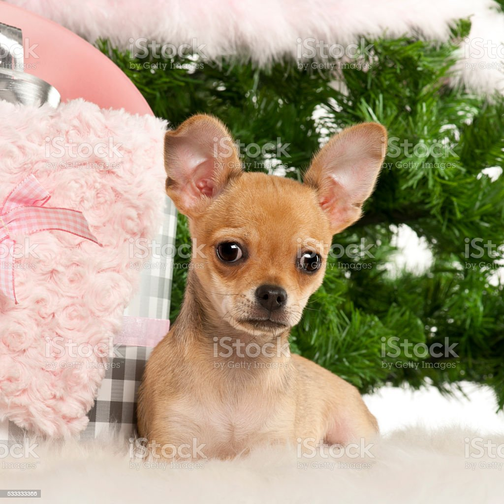 Chihuahua lying with Christmas gifts in front of Christmas tree stock photo