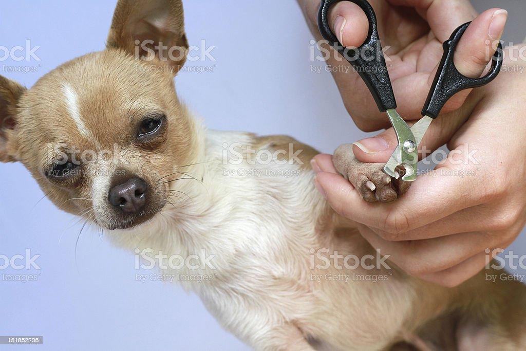 chihuahua manicure stock photo
