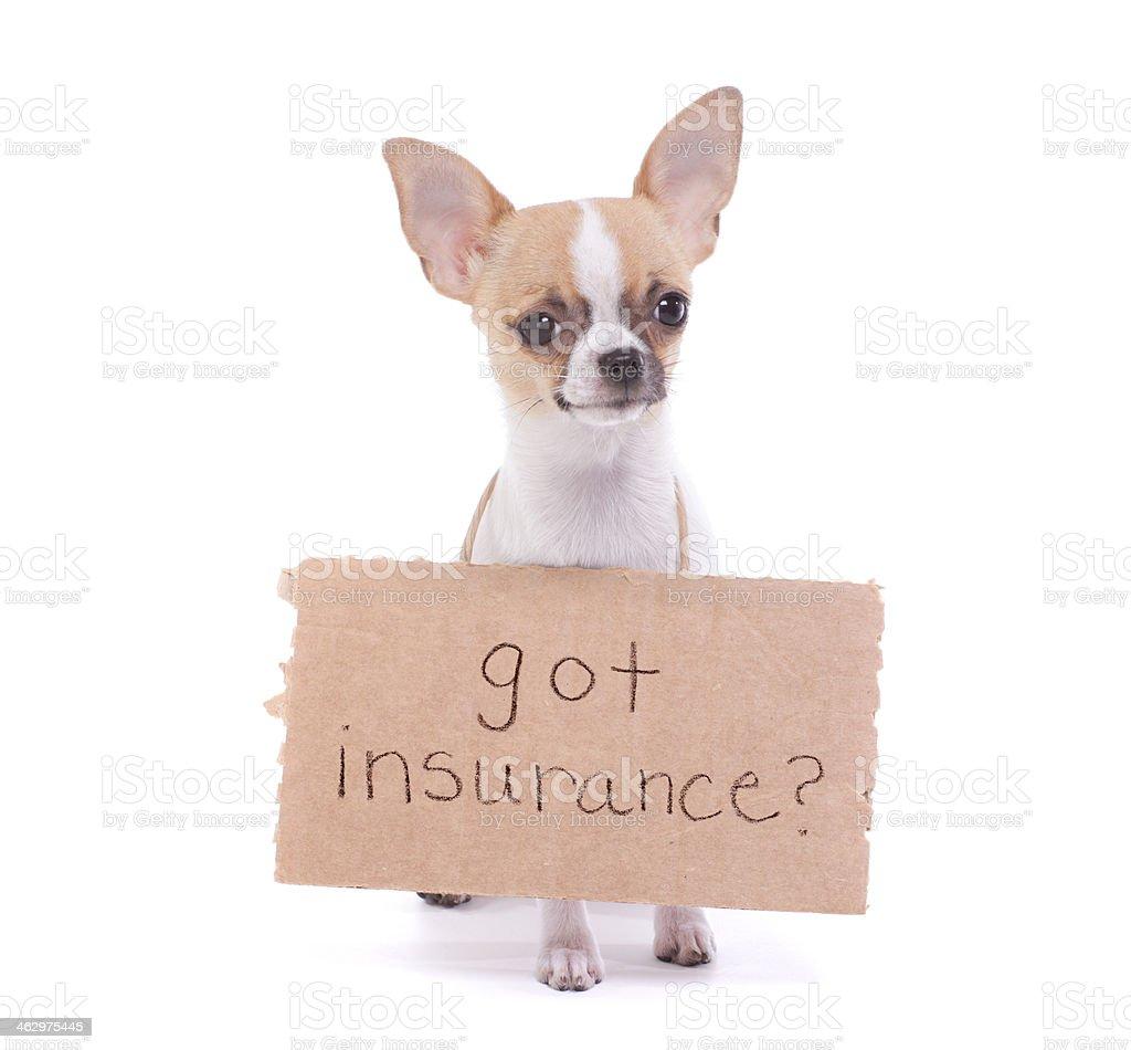 Chihuahua Message about Pet Insurance stock photo