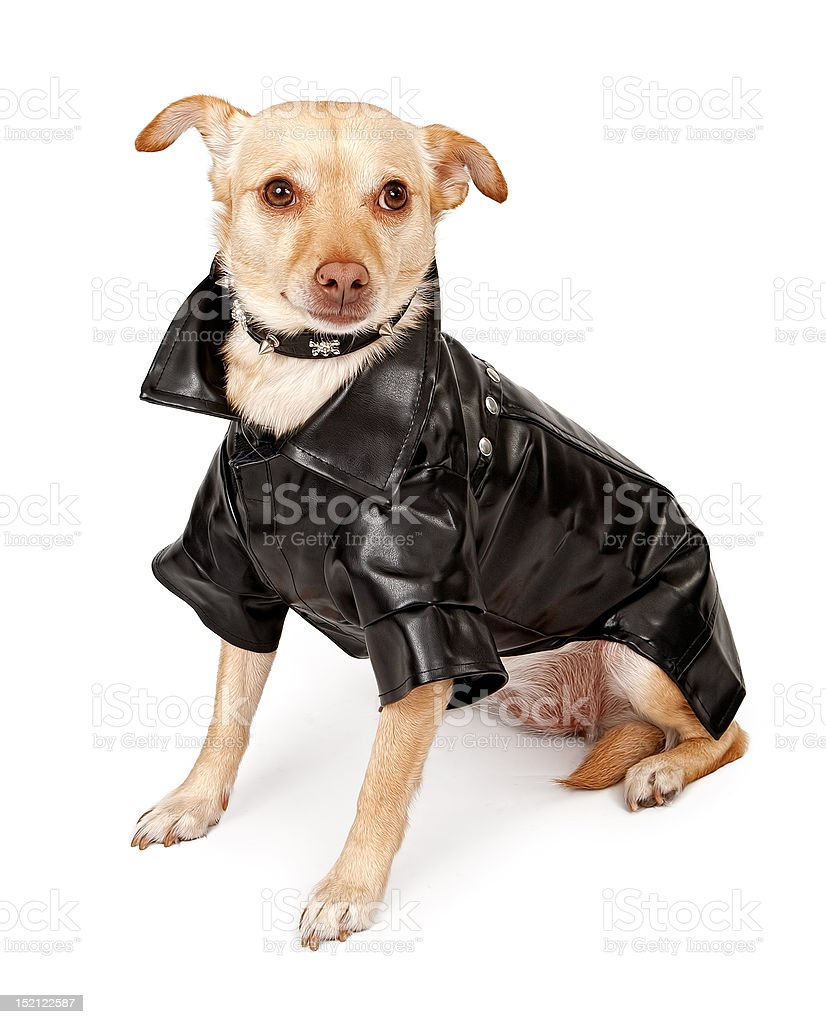 Chihuahua Mix Dog Wearing Black Leather Jacket royalty-free stock photo