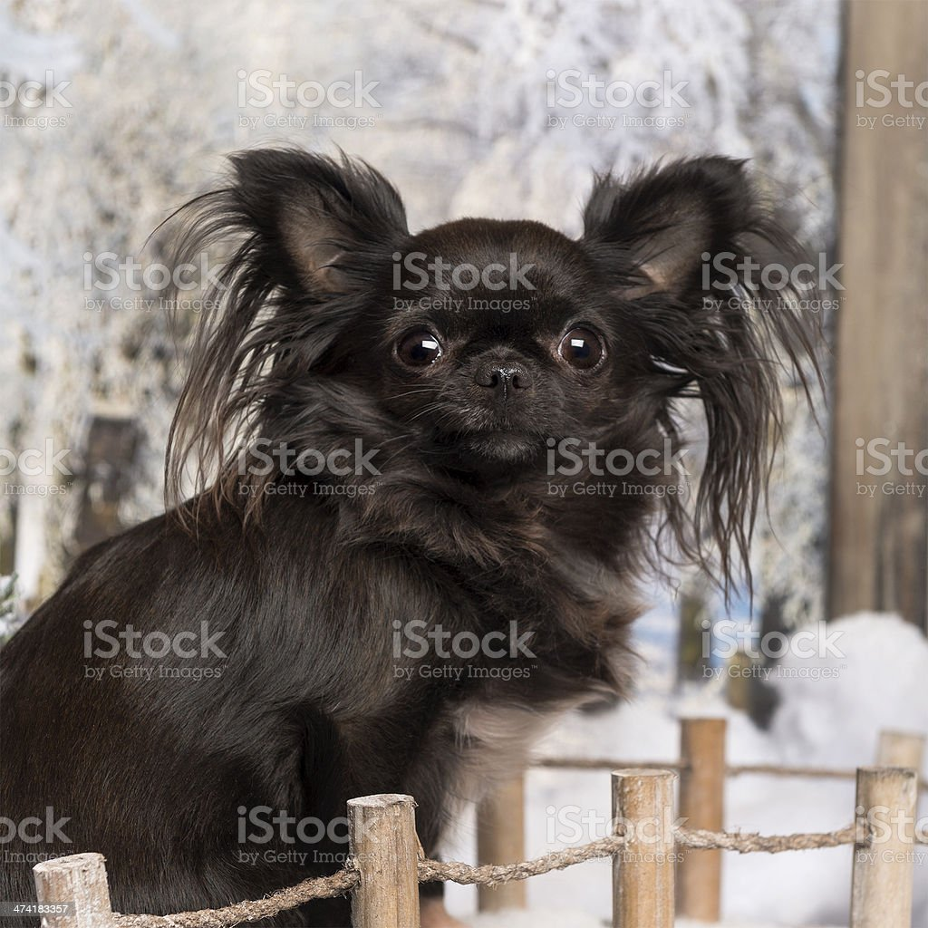 Chihuahua on a bridge in winter scenery, 2 years old stock photo