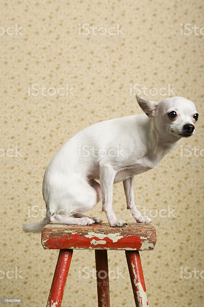 Chihuahua on a stool royalty-free stock photo