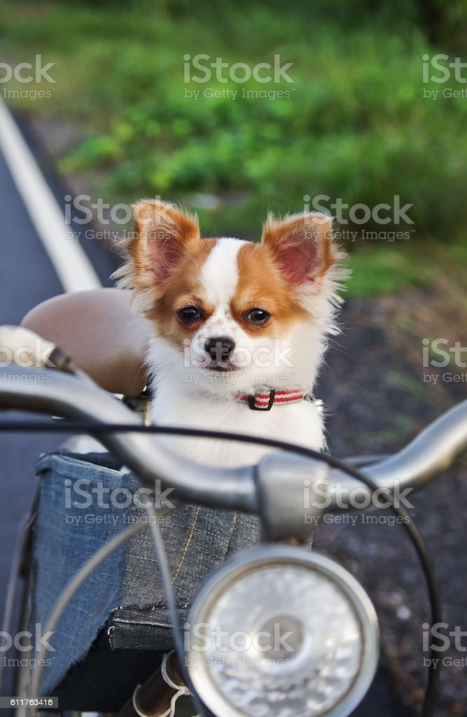 chihuahua on bicycle stock photo