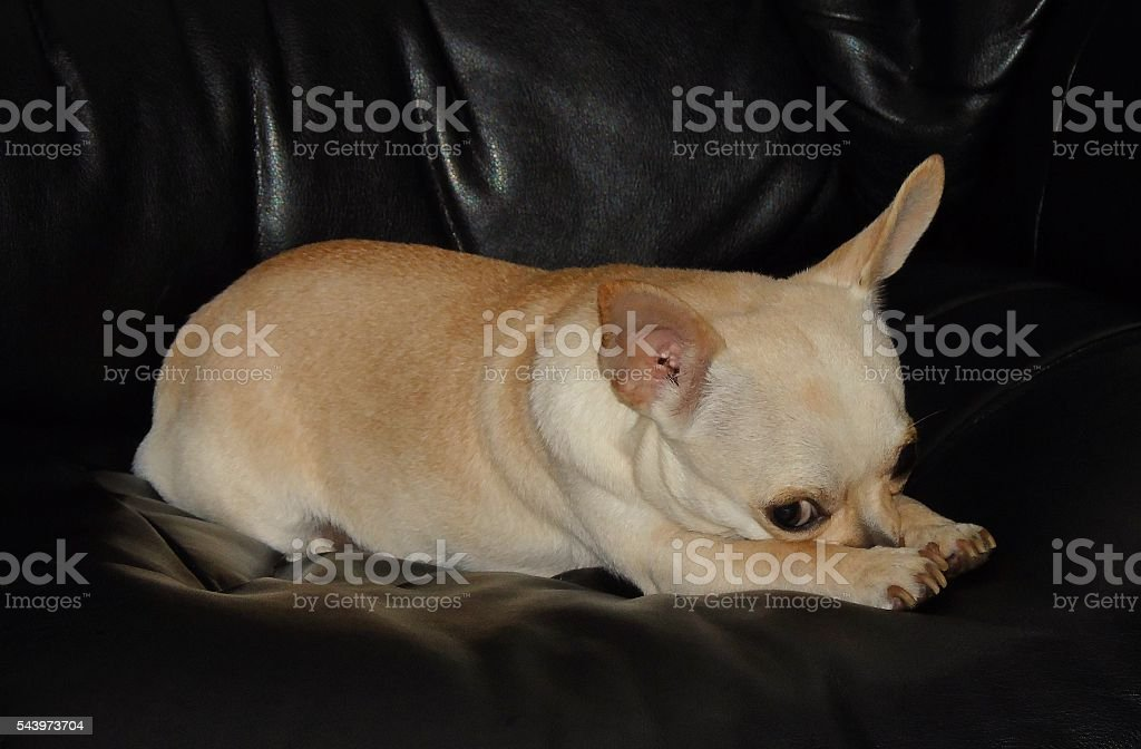 Chihuahua on black leather chair stock photo