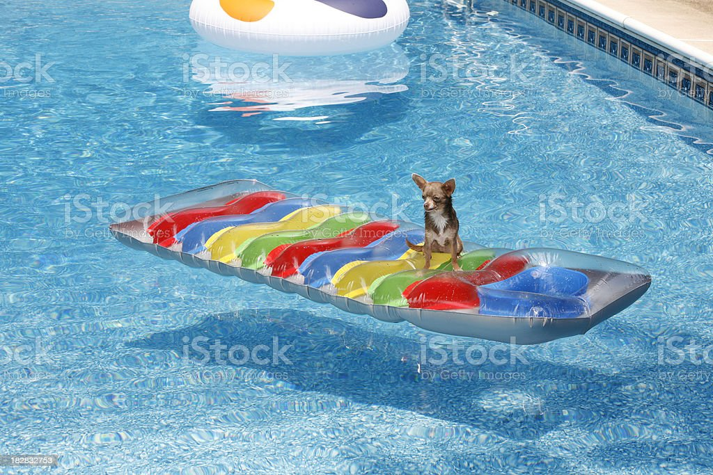Chihuahua on float royalty-free stock photo