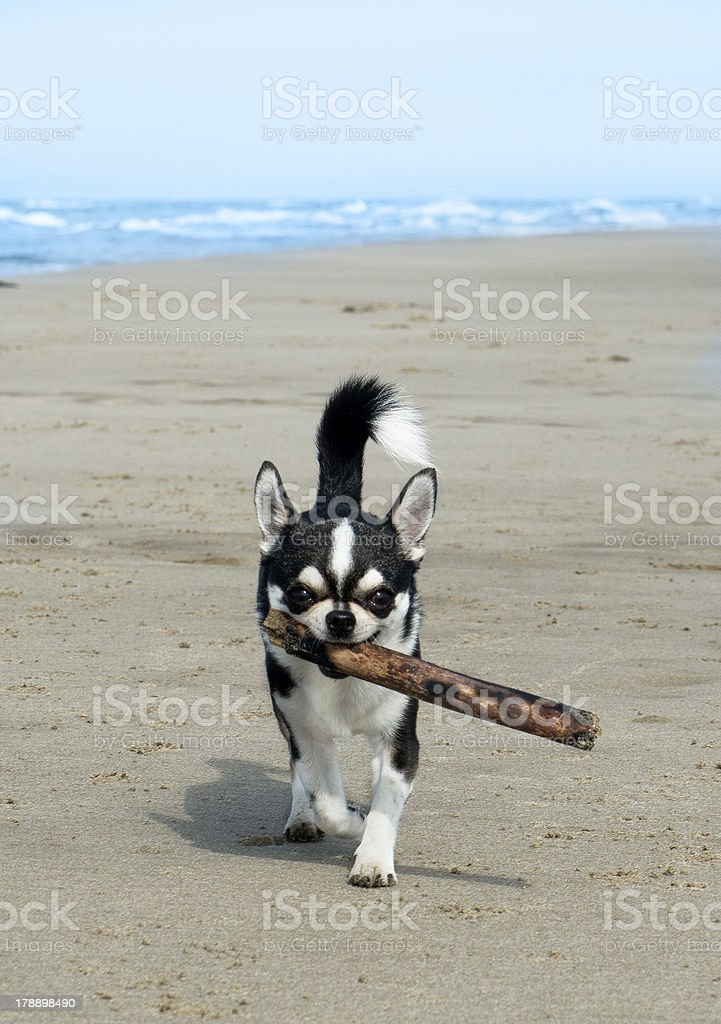 chihuahua on the beach royalty-free stock photo