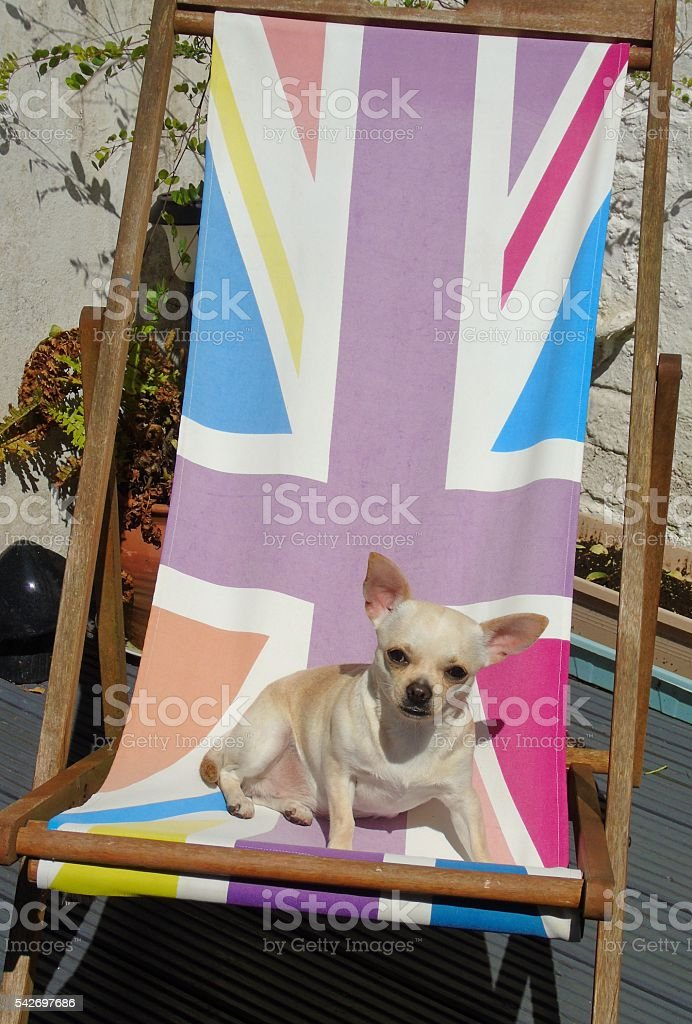 Chihuahua on Union Jack deck chair on Eu Referendum result day stock photo