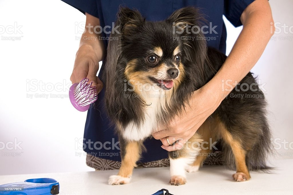 Chihuahua pet dog at the groomers. Brushing, grooming. royalty-free stock photo