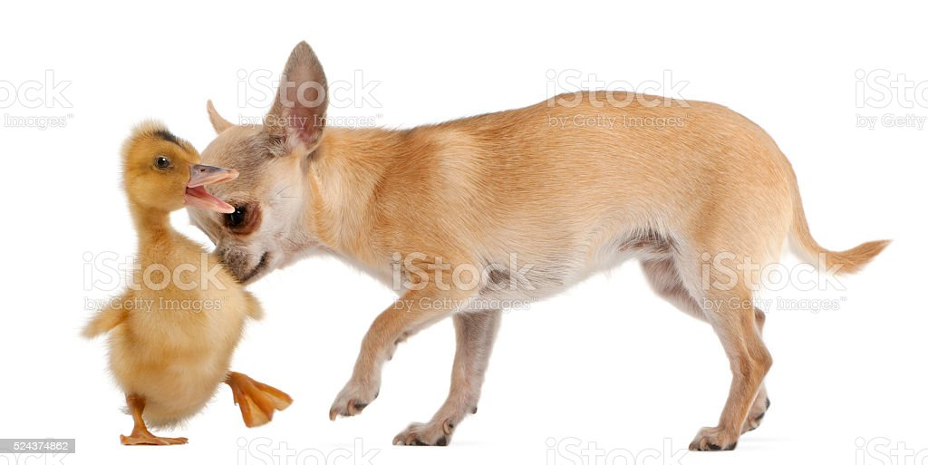 Chihuahua playing with a domestic duckling stock photo
