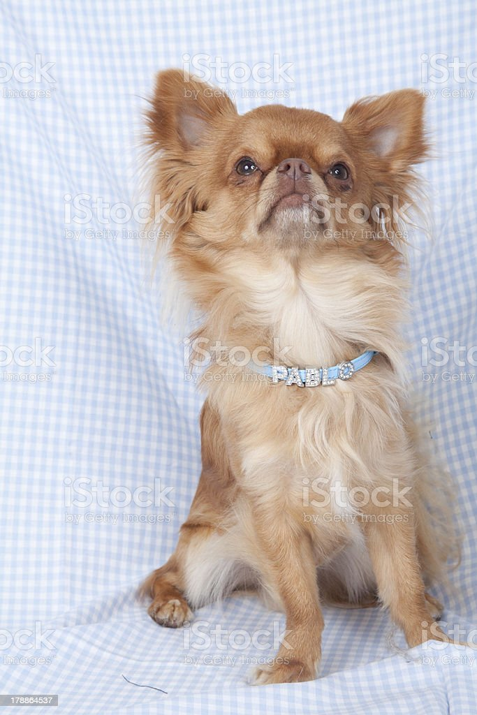 Chihuahua pup on colored background royalty-free stock photo