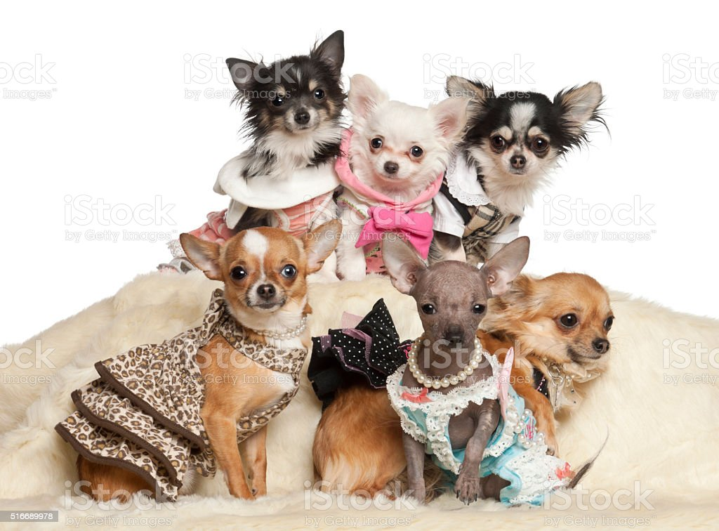Chihuahua puppies and adults in clothing sitting against white background stock photo