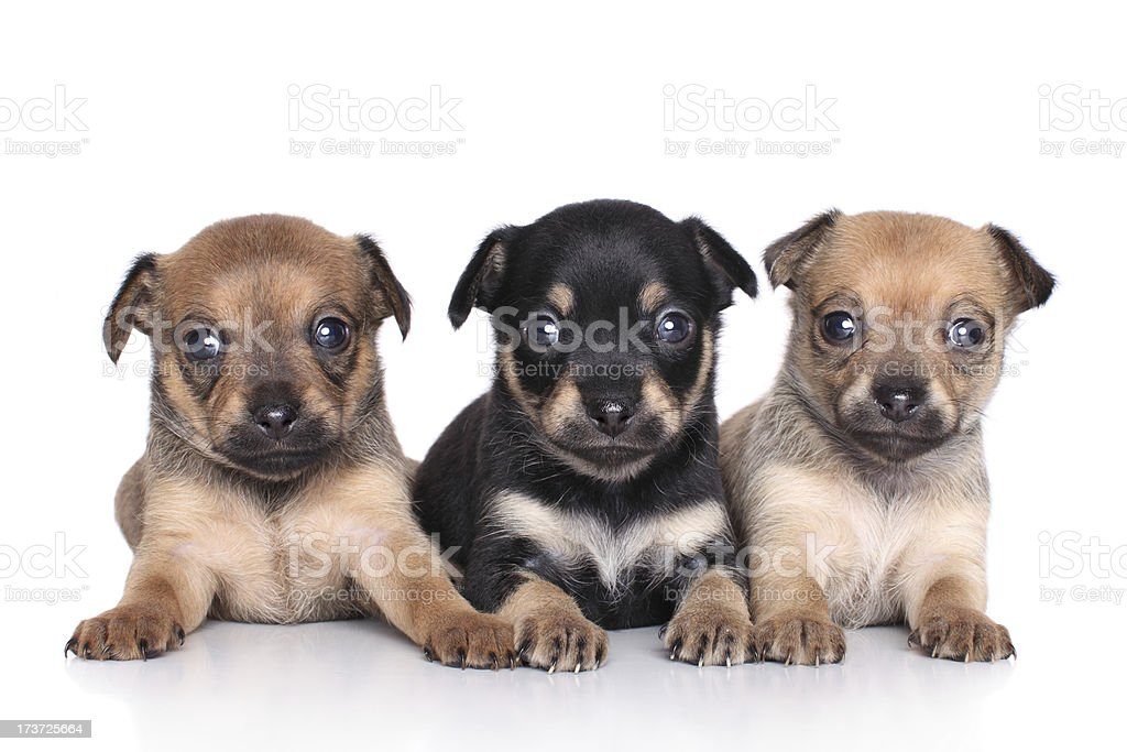 Chihuahua puppies (1 month) royalty-free stock photo