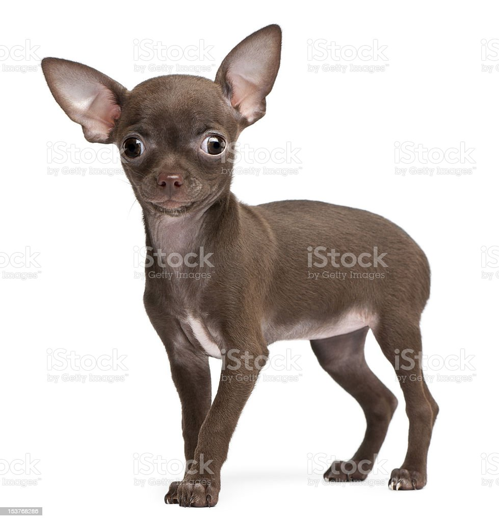 Chihuahua puppy, 10 weeks old, standing royalty-free stock photo
