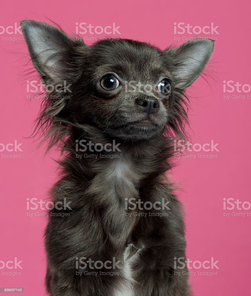 Chihuahua puppy, 5 months old, in front of pink background stock photo