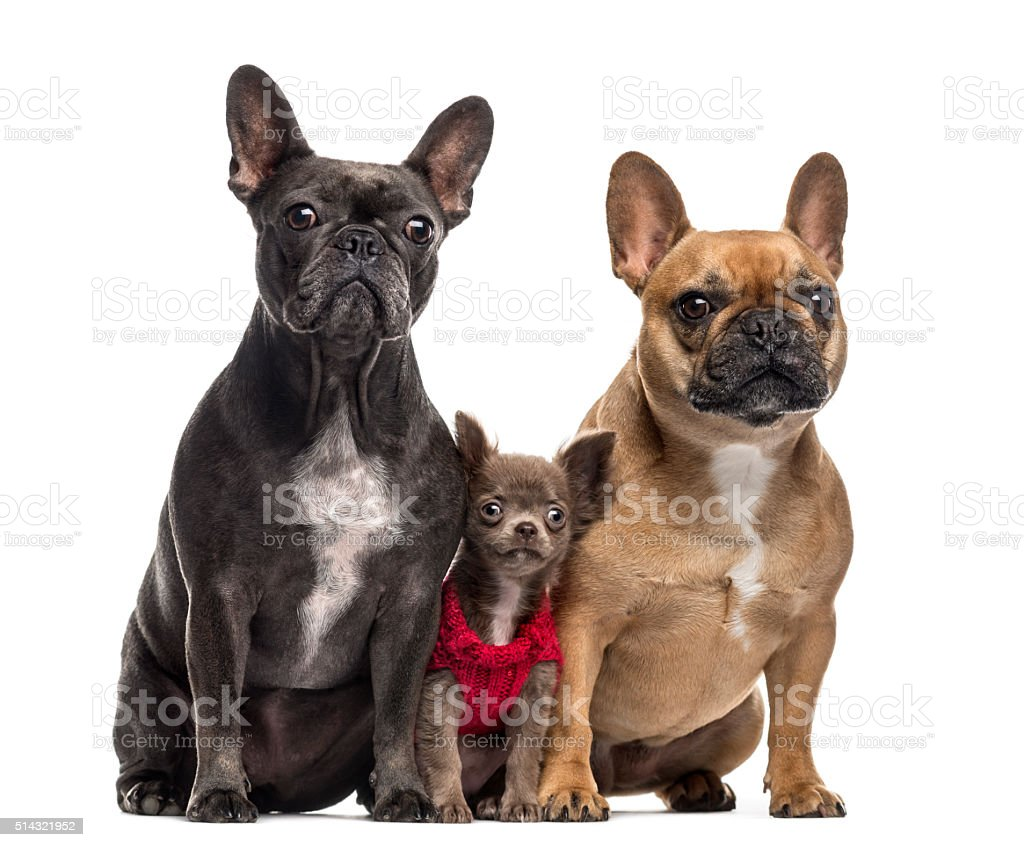 Chihuahua puppy and two French Bulldog isolated on white stock photo