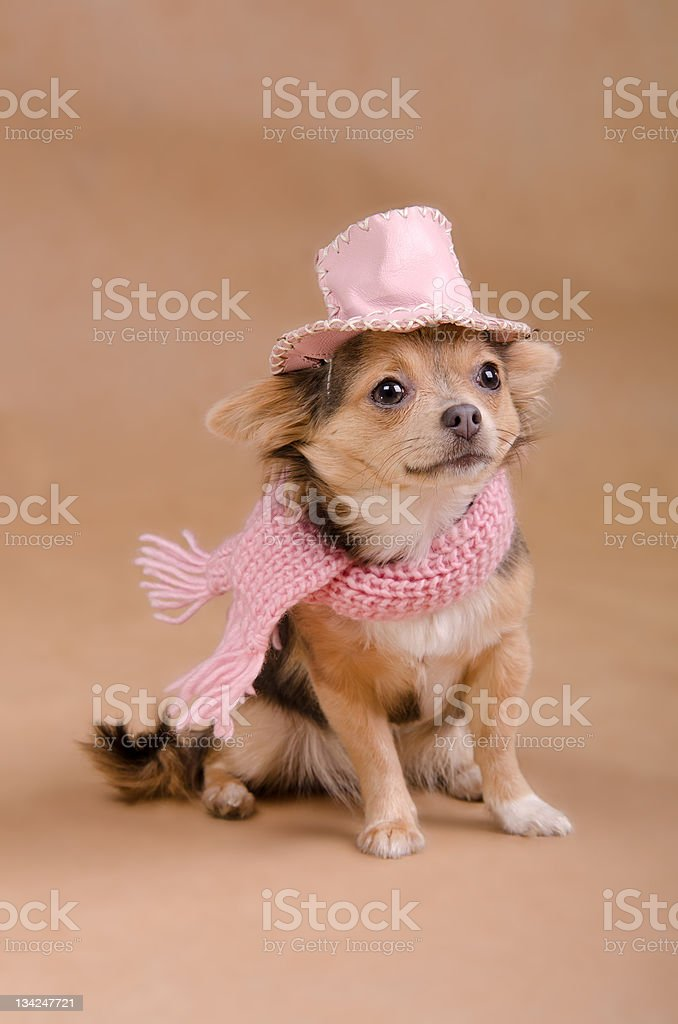 Chihuahua puppy detective dressed with hat and scarf royalty-free stock photo