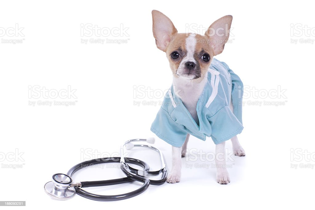 Chihuahua Puppy Dog Veterinarian royalty-free stock photo