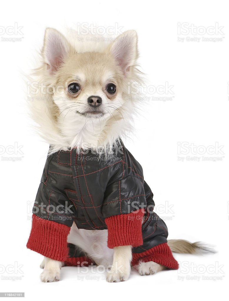 Chihuahua puppy dressed in bright jacket royalty-free stock photo