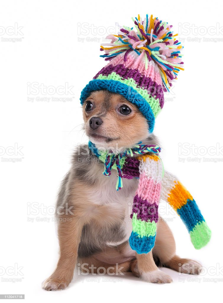 Chihuahua Puppy Dressed With Colorful Scarf and Funny Hat royalty-free stock photo