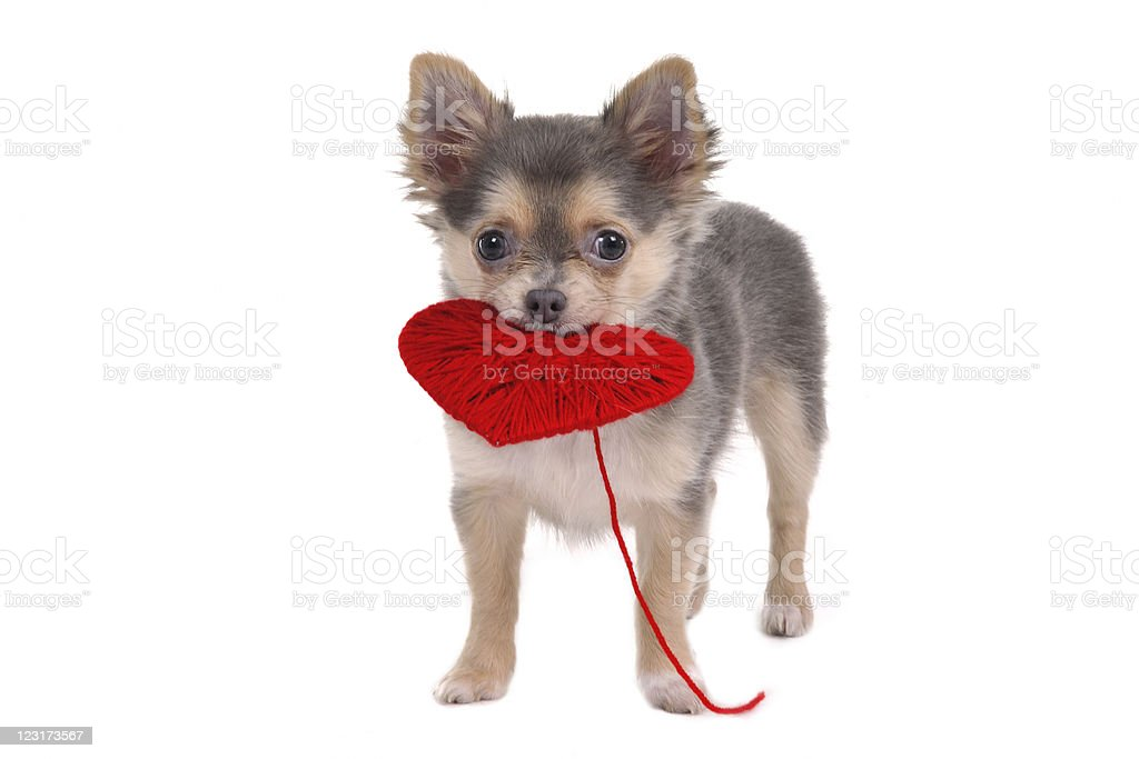 Chihuahua puppy holding red heart royalty-free stock photo