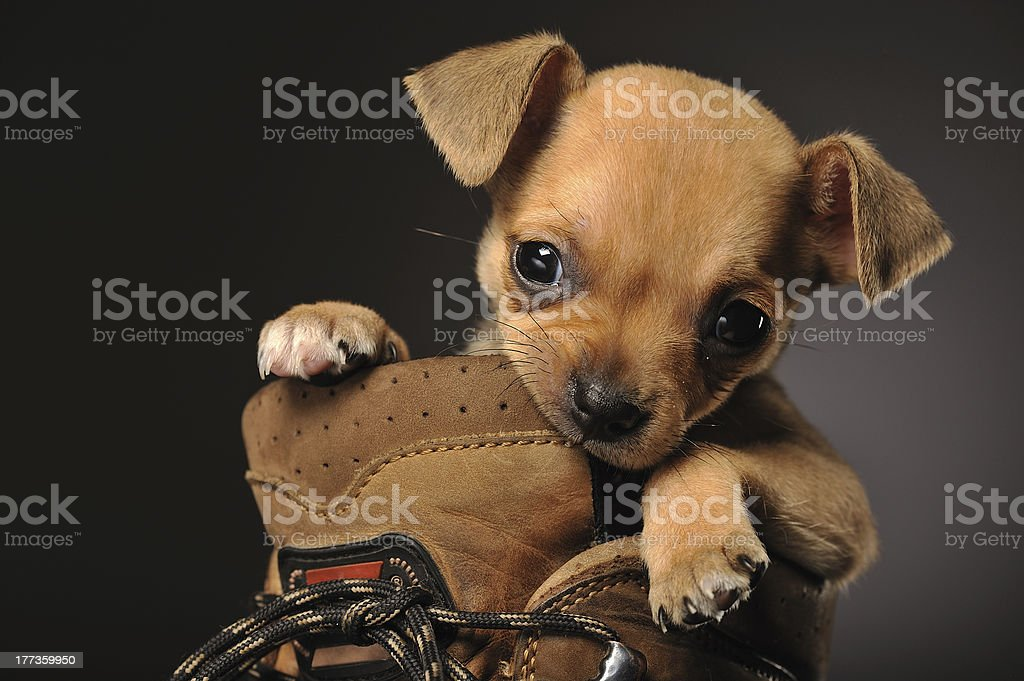 Chihuahua puppy in a boot chewing on the side stock photo