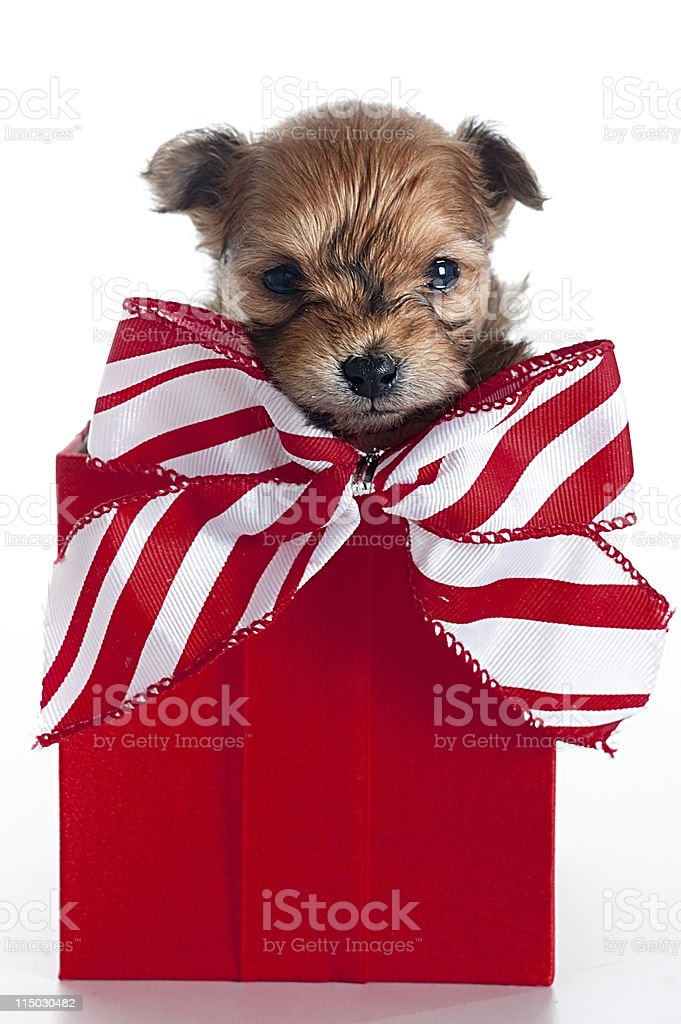 Chihuahua puppy in a box royalty-free stock photo
