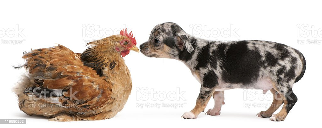 Chihuahua puppy interacting with a hen, white background. royalty-free stock photo