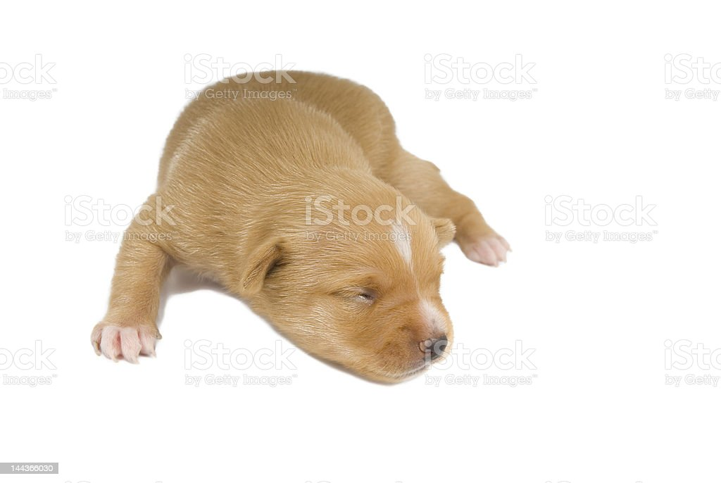 Chihuahua puppy. royalty-free stock photo
