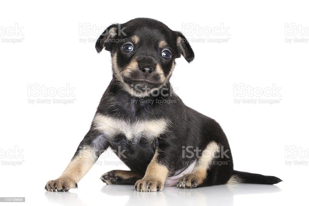 Chihuahua puppy posing stock photo