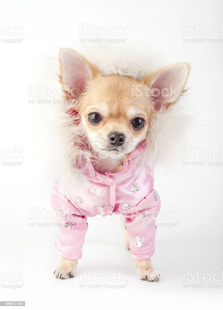 chihuahua puppy wearing glamorous pink jacket royalty-free stock photo