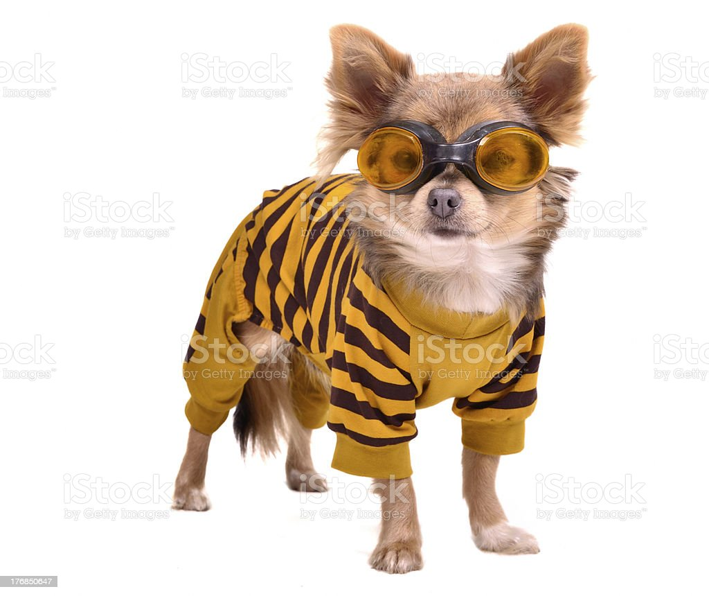 Chihuahua puppy wearing yellow suit and goggles stock photo