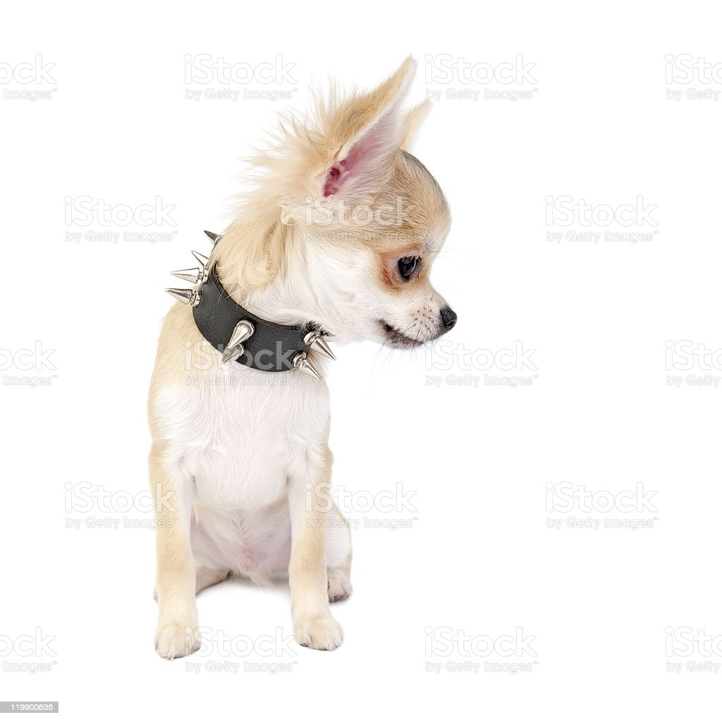 Chihuahua puppy with black leather studded collar looking to right royalty-free stock photo