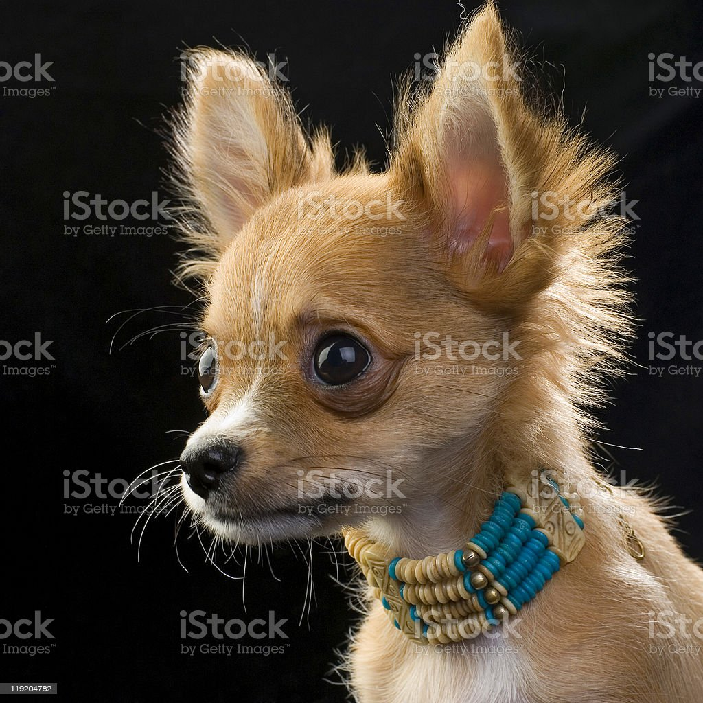 chihuahua puppy with bone beads portrait stock photo