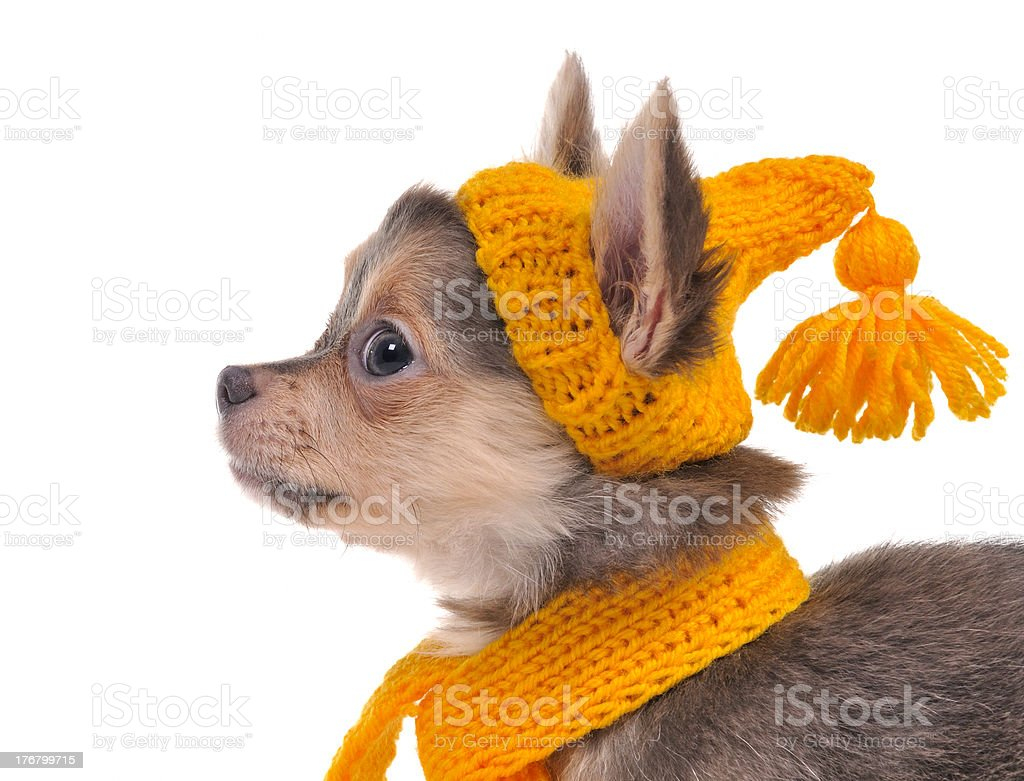 Chihuahua puppy with funny yellow hat and scarf isolated royalty-free stock photo