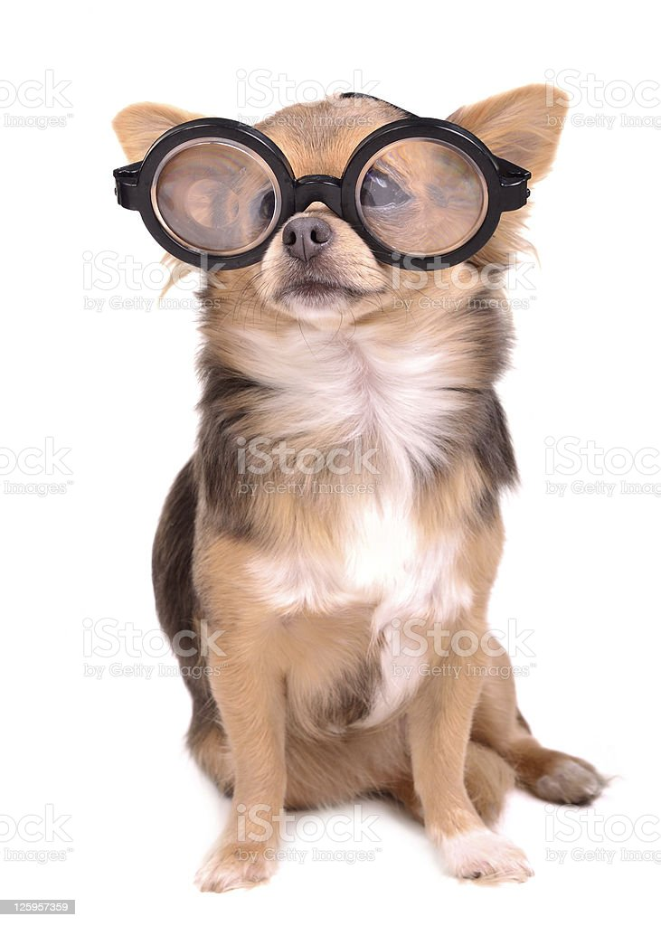 Chihuahua puppy with high diopter thick glasses royalty-free stock photo