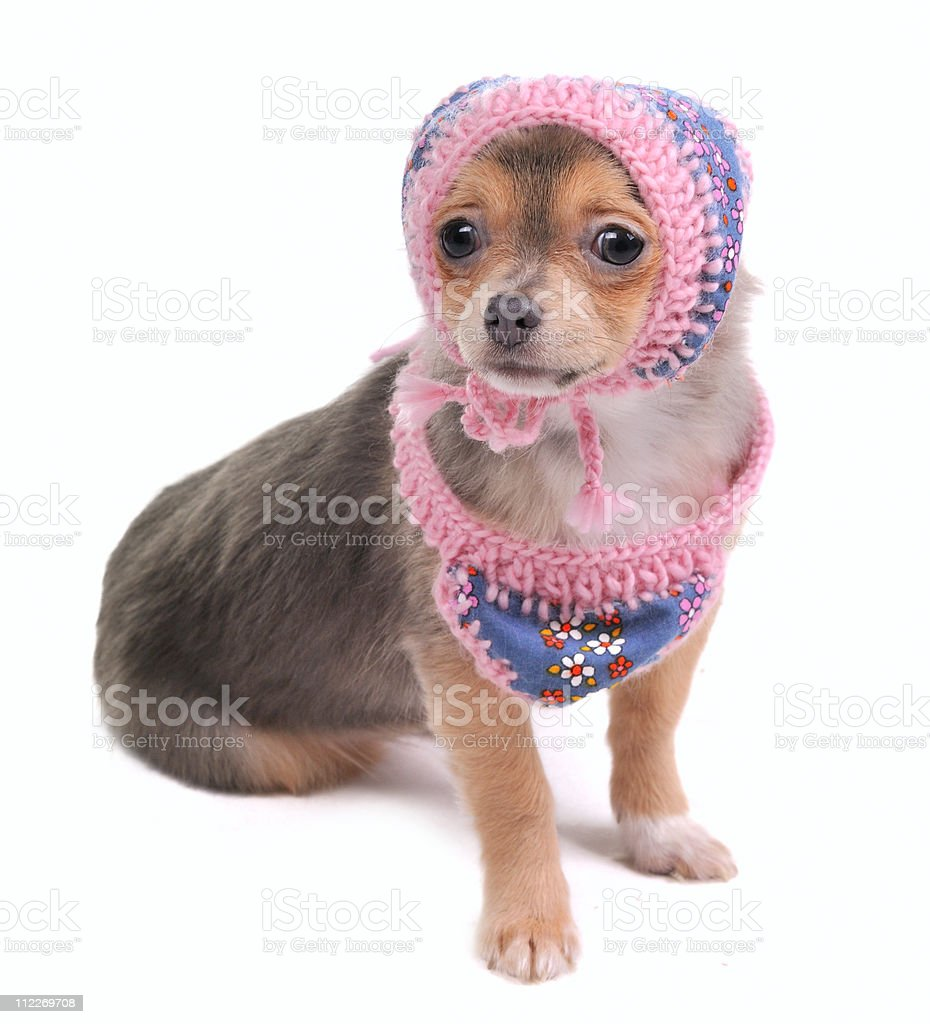Chihuahua Puppy With Scarf and Cap Looking At Camera royalty-free stock photo