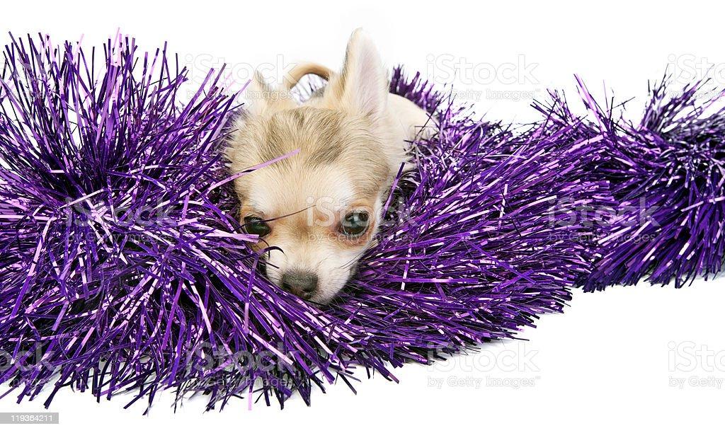 chihuahua puppy with shiny tinsel royalty-free stock photo