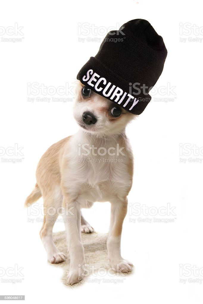 Chihuahua security stock photo