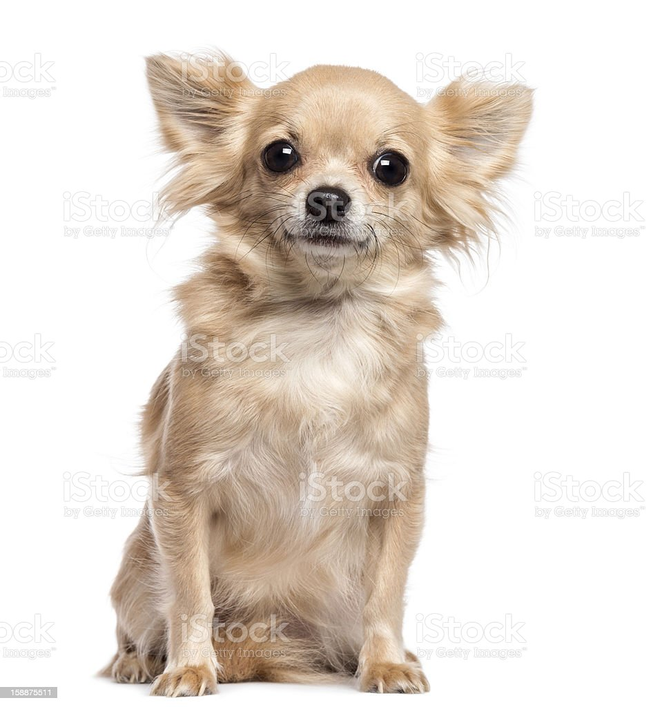 Chihuahua sitting and looking at camera against white background stock photo